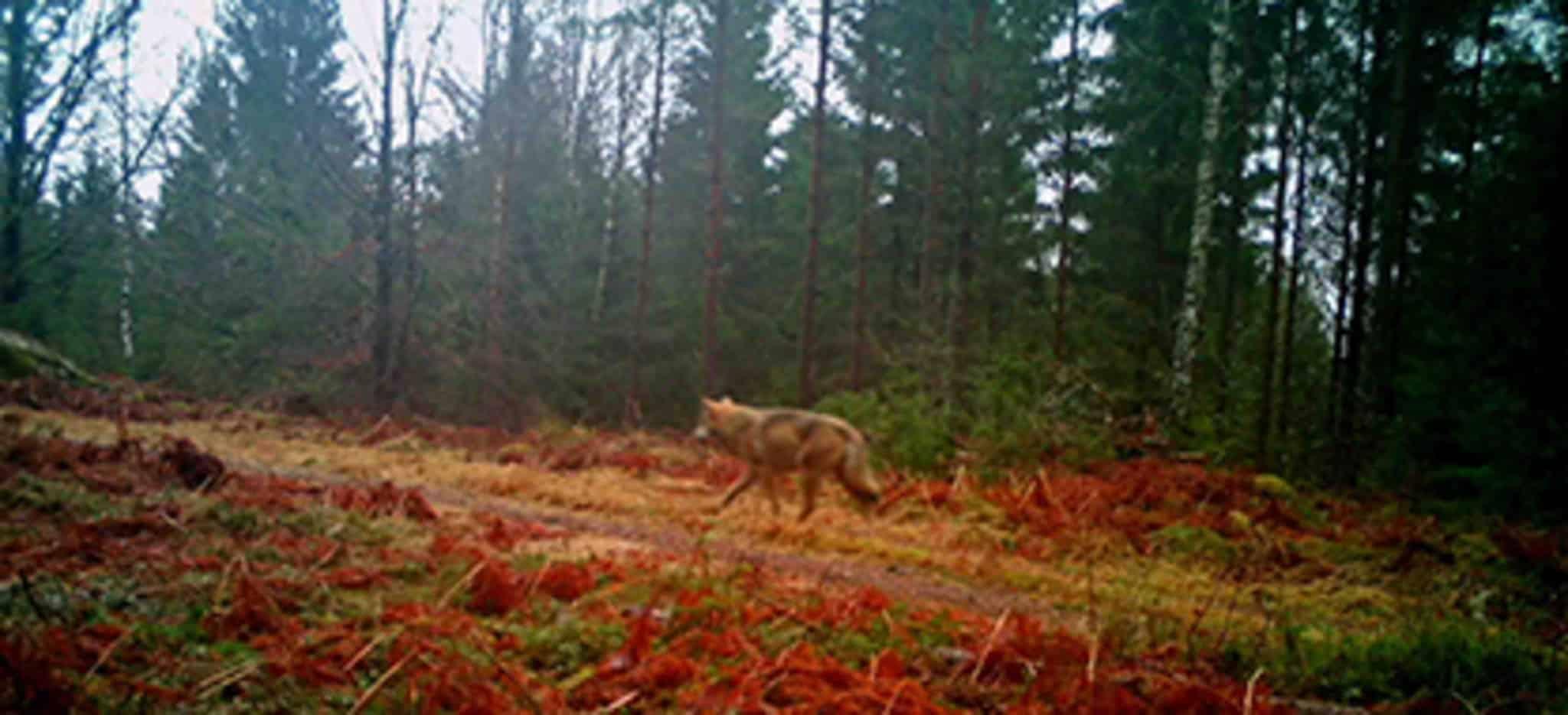 Vargen som rör sig i Göingeskogarna. Foto: Länsstyrelsen/LE Carlsson