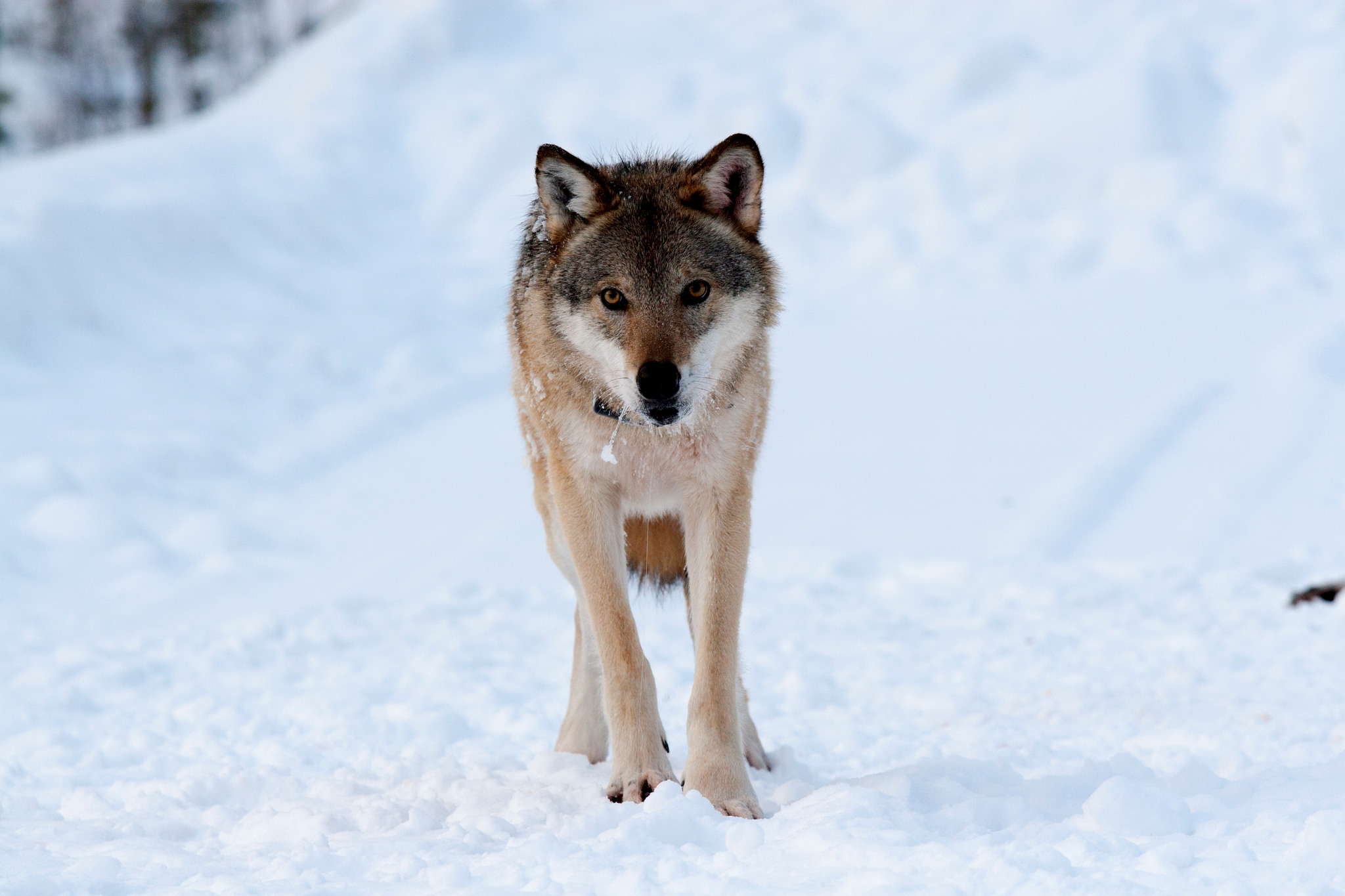 Med förvaltningsrättens resonemang kan man inte jaga varg i Västmanland förrän det finns cirka 70-100 vargar i länet, skriver länsstyrelsen. Foto: Olle Olsson