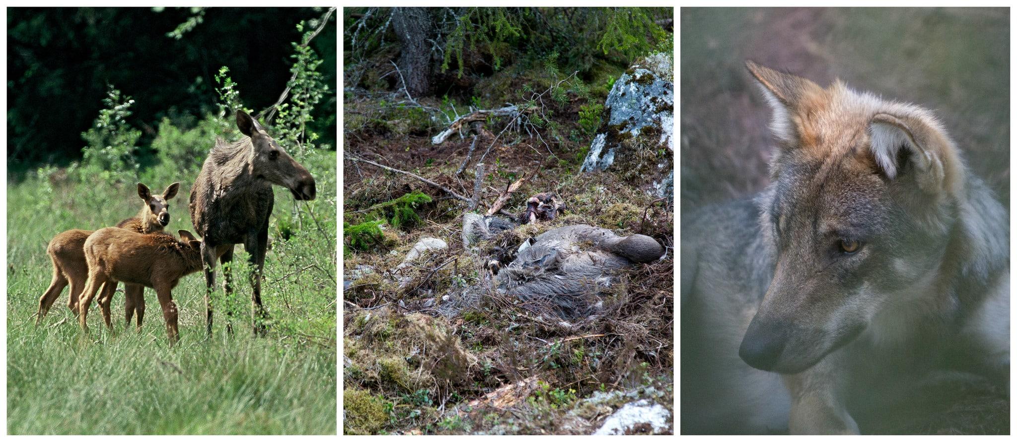 Ensamma, vuxna vargar dödar långt fler älgar än vad man tidigare trott.