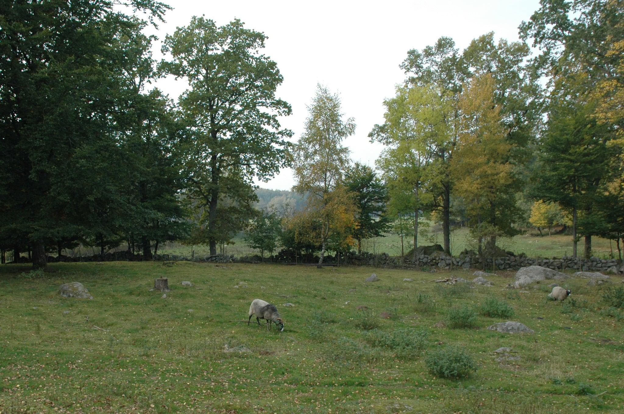 Enligt länsstyrelsen i Kalmar län skyddar man får mot lodjur med ett vanligt fårnät kompletterat med två eltrådar, en hög och en låg. Foto: Marie Gadolin