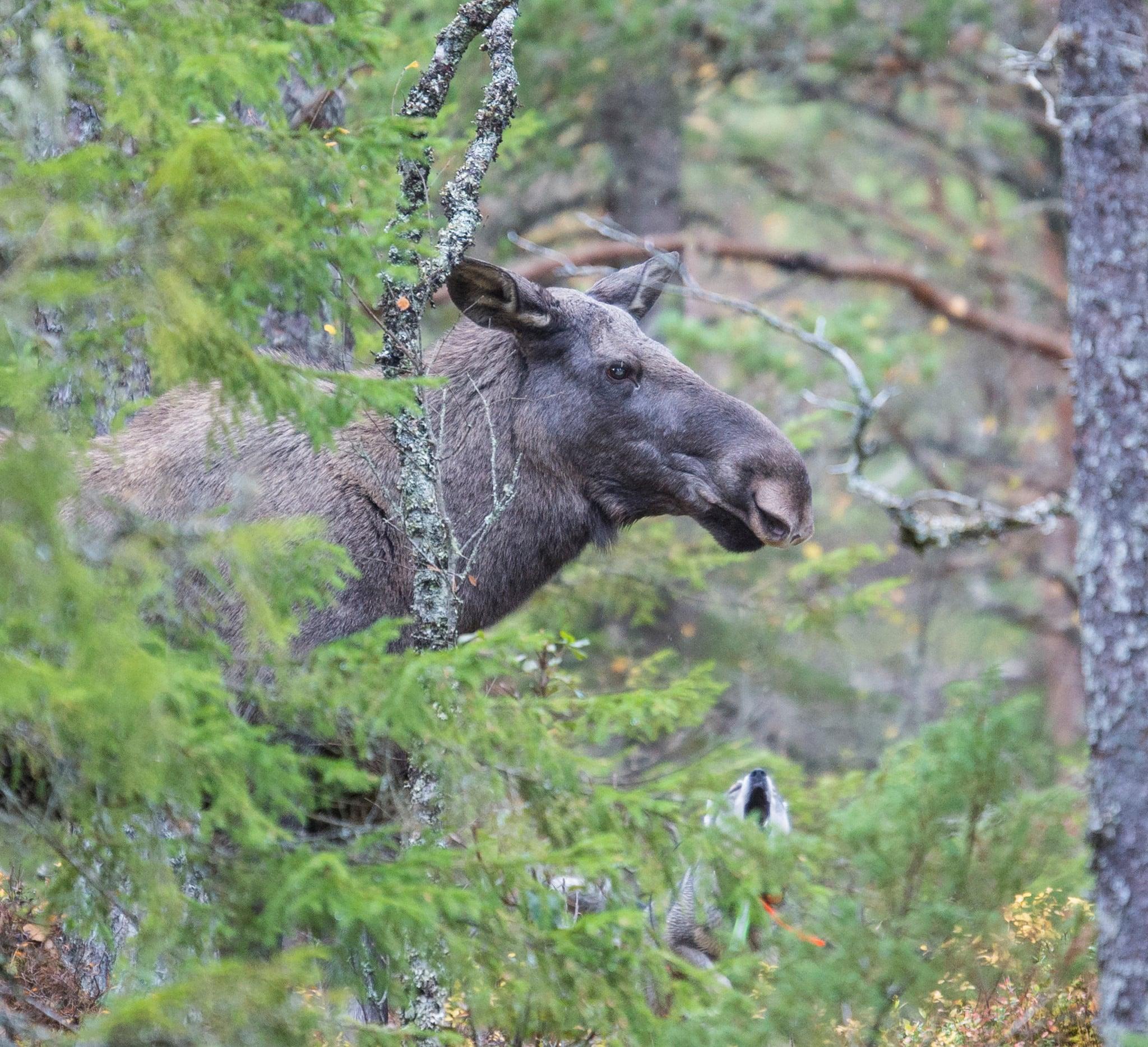 Jaktlag som inte rapporterat sin älgjakt och heller inte betalat in fällavgifter polisanmäls nu av länsstyrelsen i Västerbotten. Foto: Kjell-Erik Moseid
