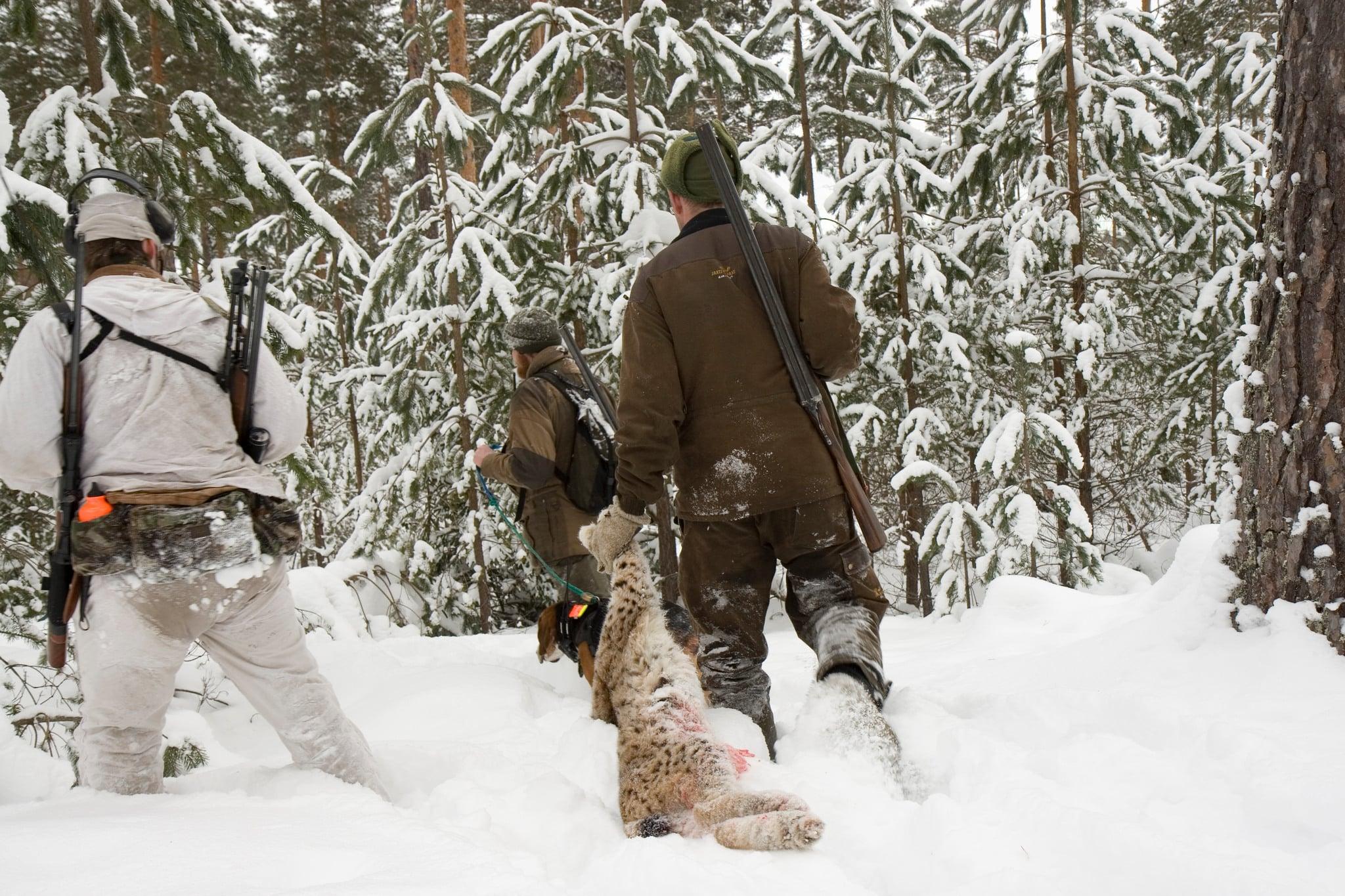 Lodjursjakten i Norrbotten överklagas av Wolf Association Sweden. Foto: Olle Olsson