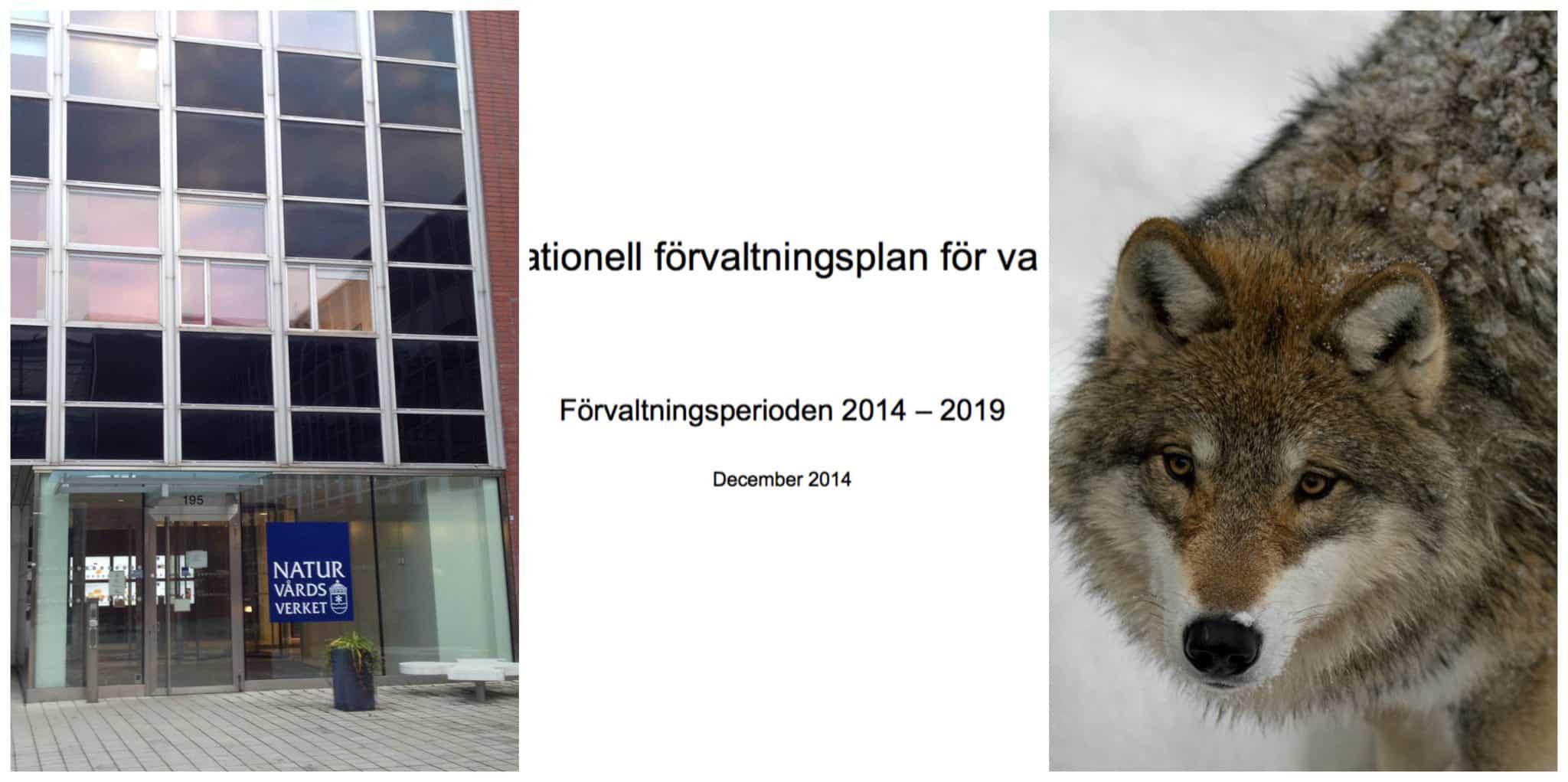 Elva av tolv mål har Naturvårdsverket misslyckats med i sin förvaltningsplan av varg.