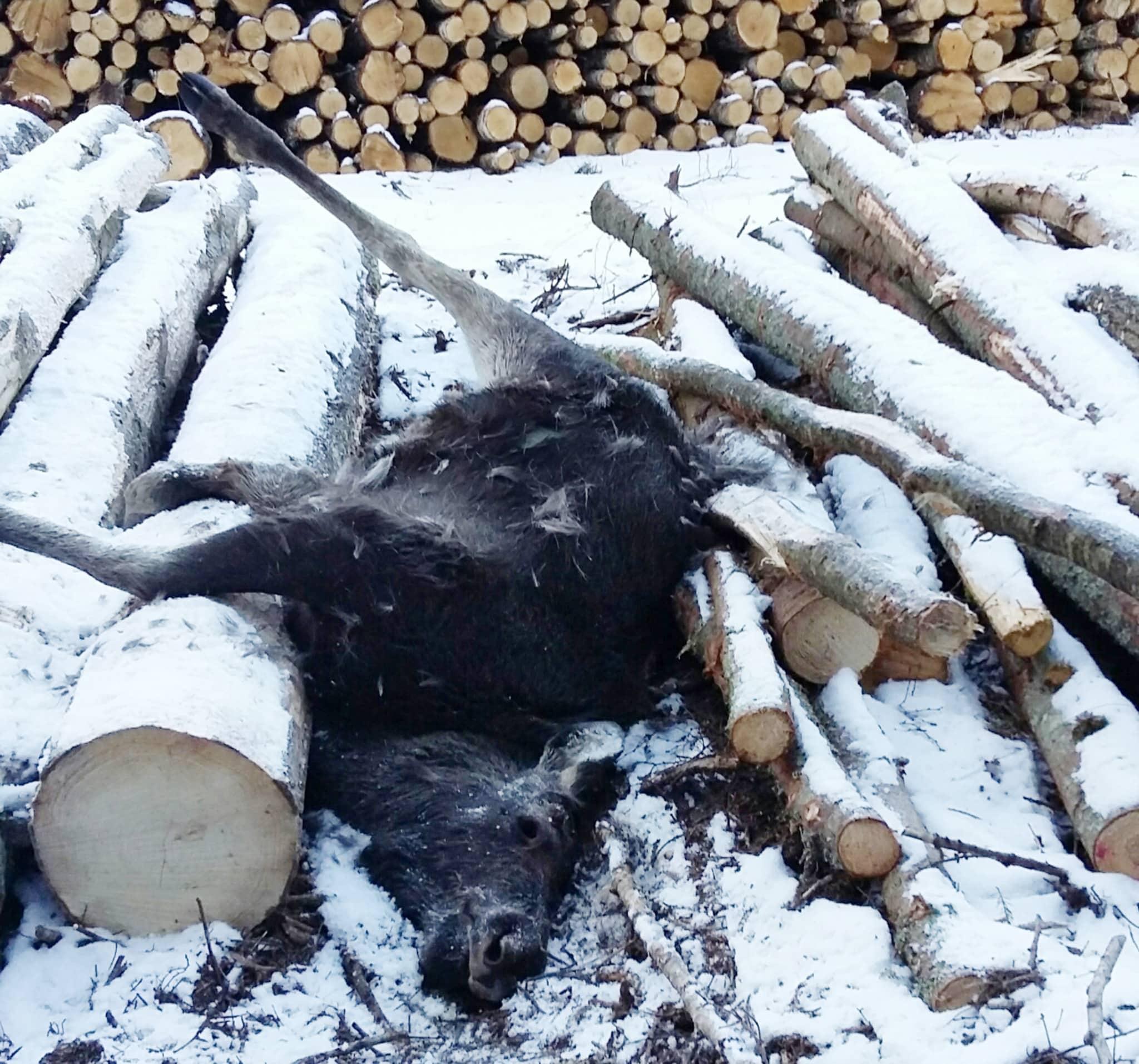 Älgkalven har gått på vältan och gnagt bark när den fastnat med båda frambenen i glipan mellan två aspbitar, ramlat och därefter inte kunnat ta sig upp. Foto: Niklas Einar