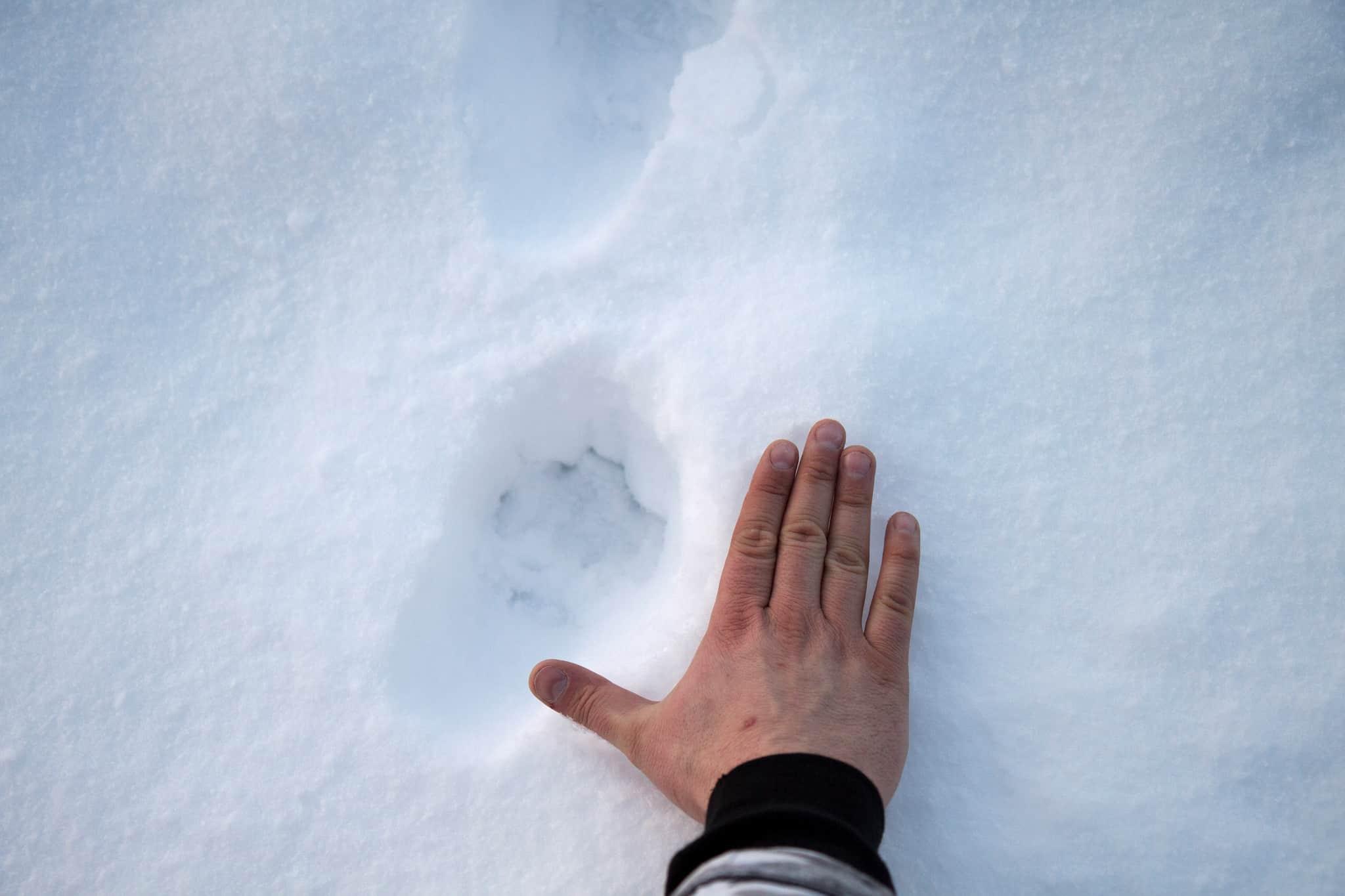 Licensjakten på lodjur i Norrbotten är stoppad efter att Naturvårdsverket underkänt länsstyrelsens beslut. Foto: Olle Olsson