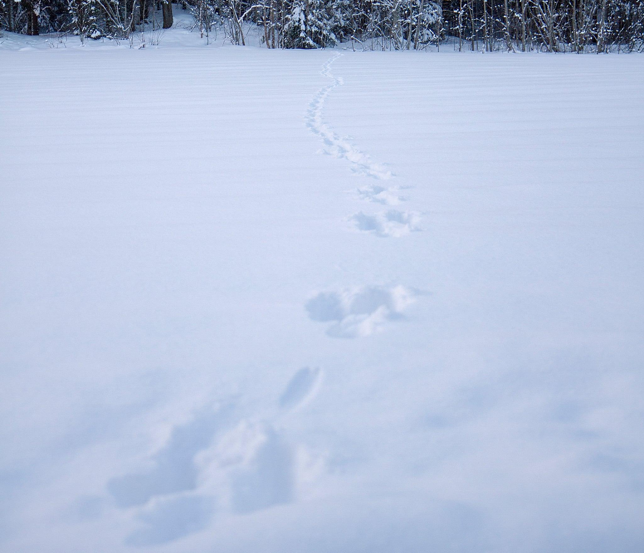 I EU-landet Finland sköts 477 lodjur det senaste jaktåret. Foto: Olle Olsson