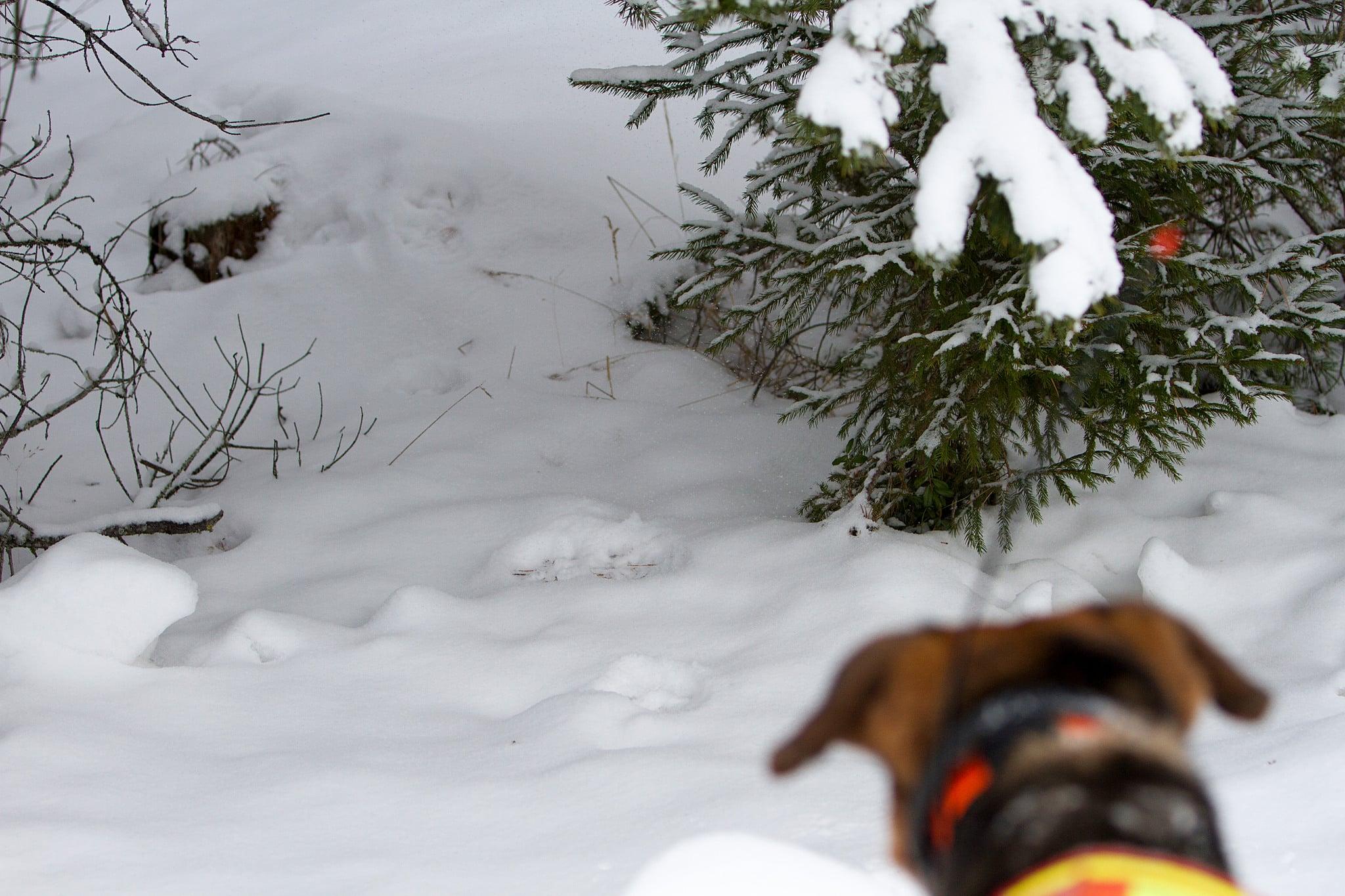Lodjursjakten i Norrbotten kan inledas omedelbart. Foto: Olle Olsson
