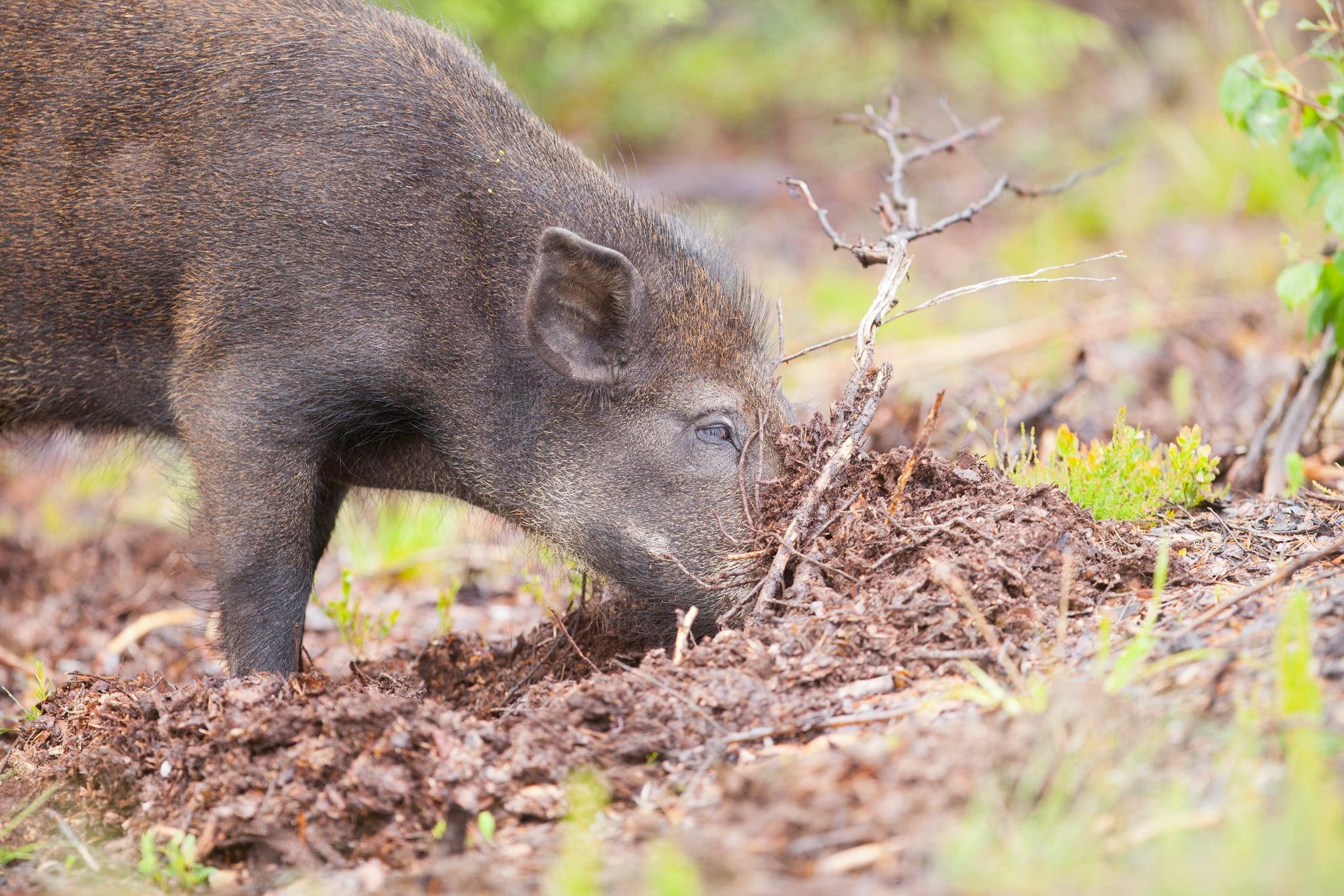 Kött från vildsvin kan innehålla parasiten toxoplasma. Det bör därför alltid ätas väl tillagat och aldrig rått. Foto: Kjell-Erik Moseid