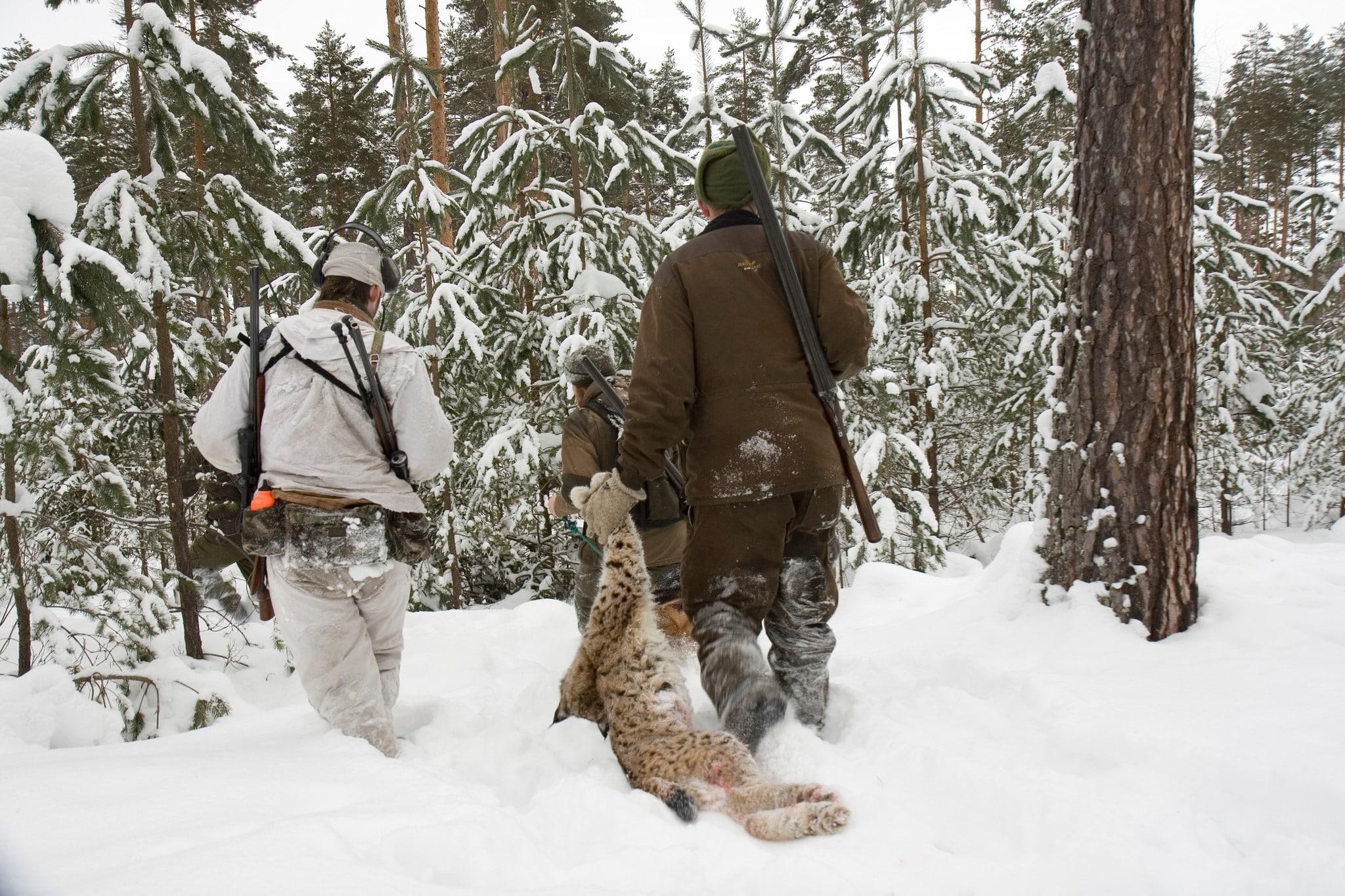 Endast ett lodjur återstår av tilldelningen i Västerbotten. Foto: Olle Olsson