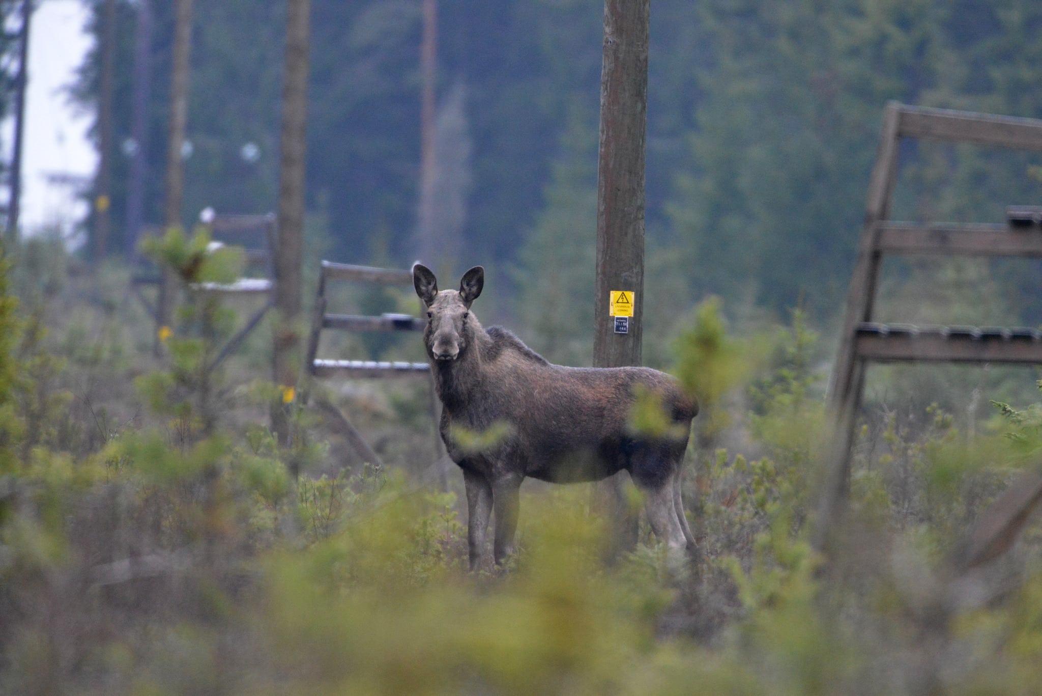Älgen föll på fel sida markgränsen, vilket ledde till en rättssak. Foto: Kenneth Johansson