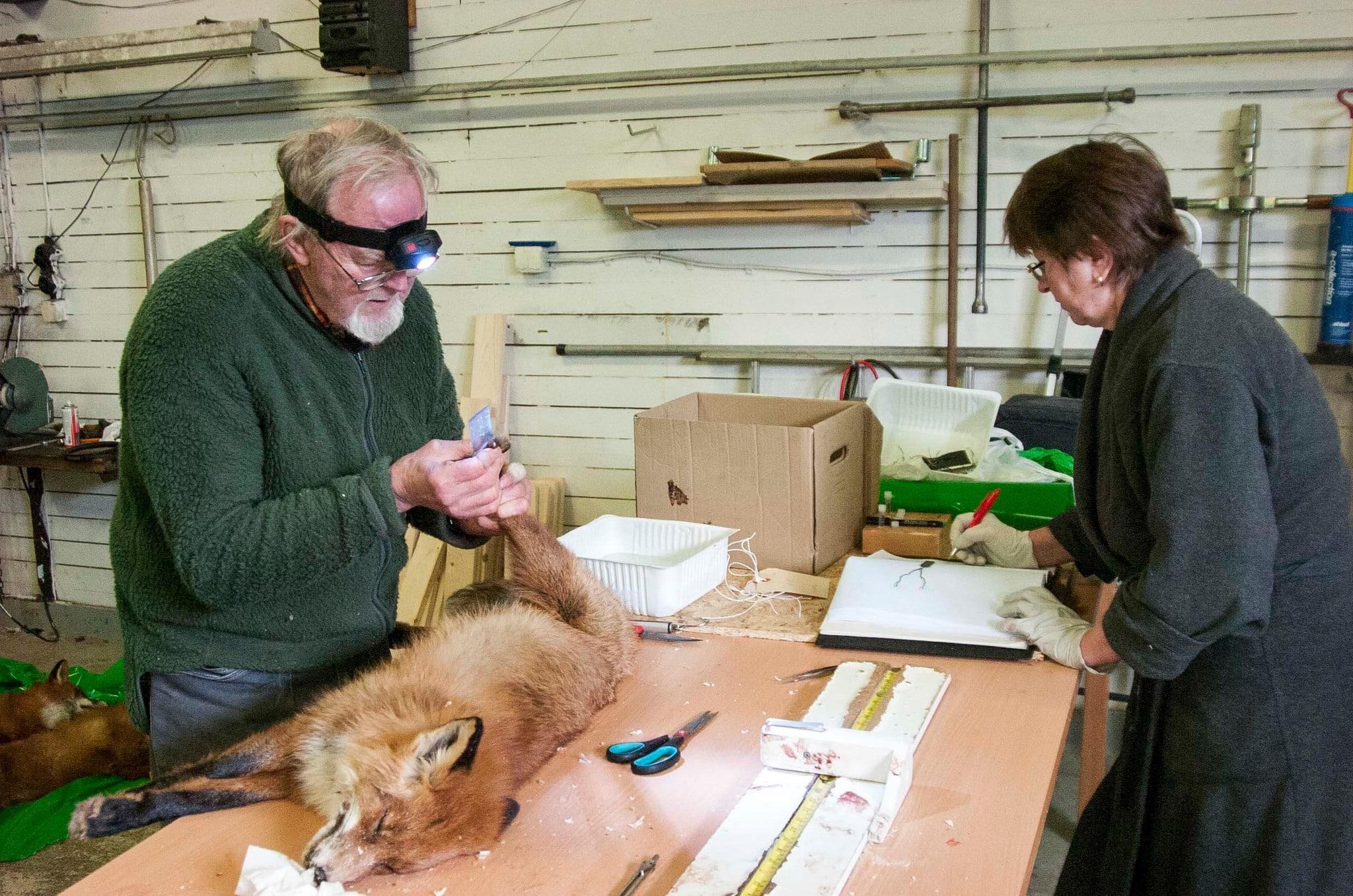 Under flera år har rävforskaren Jan Englund samlat data från fällda rävar, från Skåne till norra Lappland. Jans fru Galina (till höger på bilden) sköter anteckningarna. Foto: Bernt Karlsson