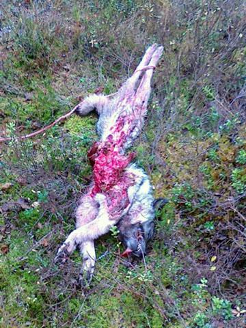 Gråhundstik vargdödad i samband med jaktträning i Svärdsjö, Dalarna. Foto: Privat