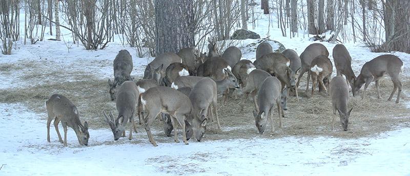 25 rådjur på samma bild. Foderplatsen i Älvkarleö var minst sagt välbesökt den 13 mars. Foto: Gunnar Ericsson