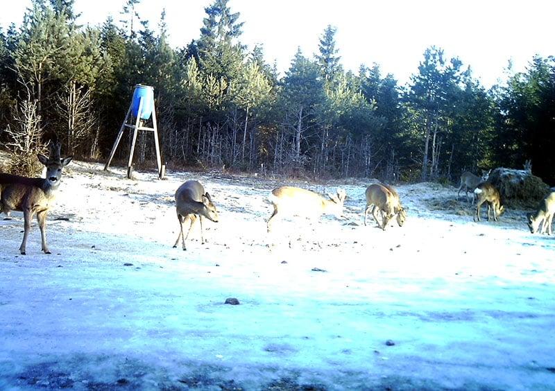 Rådjur och älg tar för sig av fodret. Foto: Privat