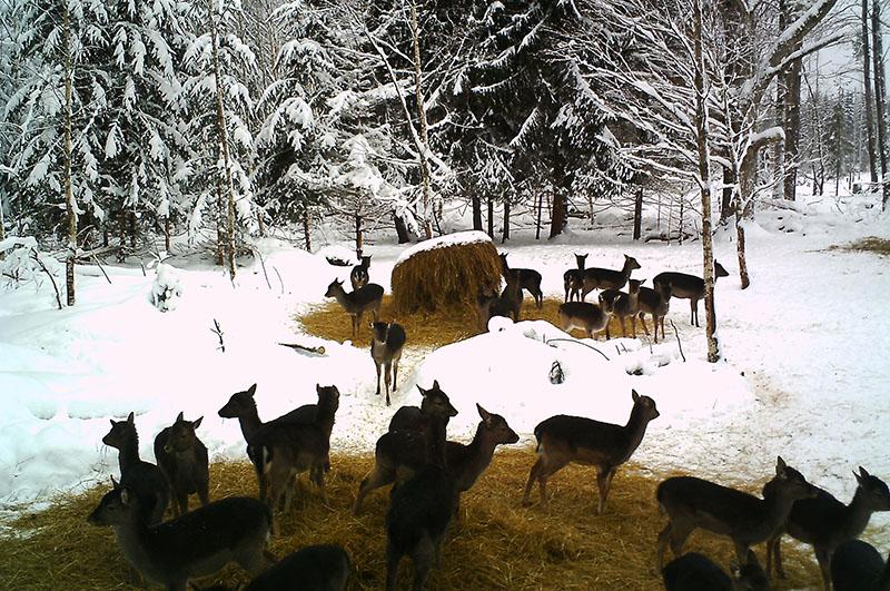 Här är det nästan enbart dovkalvar som är ute och äter på foderplatsen på dagtid. Foto: Privat