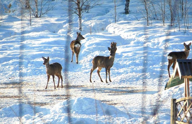 Rådjur utfodras i Lövnäs. Foto: Privat
