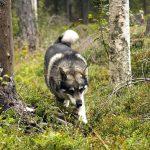 Både matsmältningen och hjärnans utveckling skiljer tamhunden från vargen. Foto: Olle Olsson