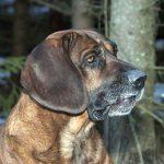 Spårspecialister som hannoveransk viltspårhund är ofta mindre livliga i sitt temperament och blir inte så lätt störda av omgivningen. Foto: Jan Henricson