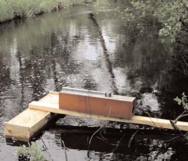 Minkens utpräglade nyfikenhet och vana att springa längs trävirke som ligger i eller intill vatten gör att den kommer att följa spången och passera genom fälltunneln. Foto: Bernt Karlsson