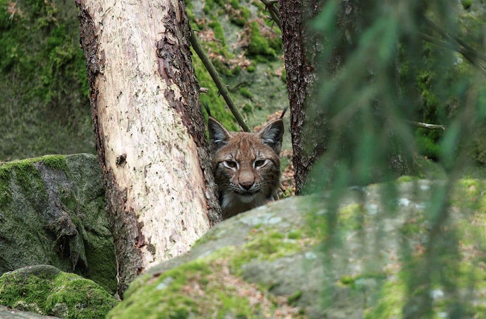 Naturvårdsverket får hård kritik av Jägareförbundet för sitt sätta att räkna på gynnsam bevarandestatus för bland annat lodjur. Foto (i hägn): Olle Olsson.