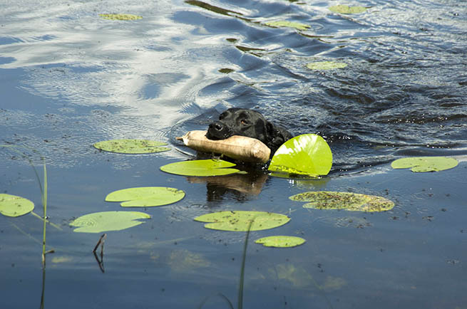 Hund drack algvatten dog