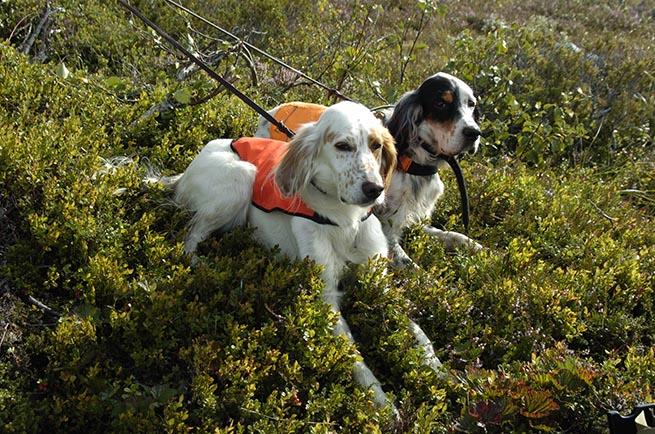 Stående fågelhundar har risk för stakningsskador och att frön och andra växtdelar hamnar i ögon och luftvägar. Foto: Jan Henricson