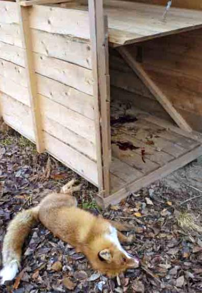 Första räven i den här fällan var en vacker, fullpälsad tik. Foto: Bernt Karlsson