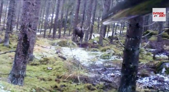 Älgtjur på väg in i passet. Foto: Conny Olsson