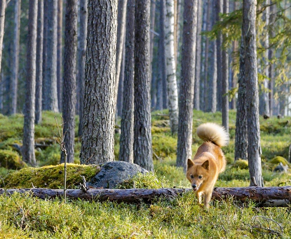 Liten spetshund i storskog… det är jakt med trädskällare. Foto: Tomas Johansson