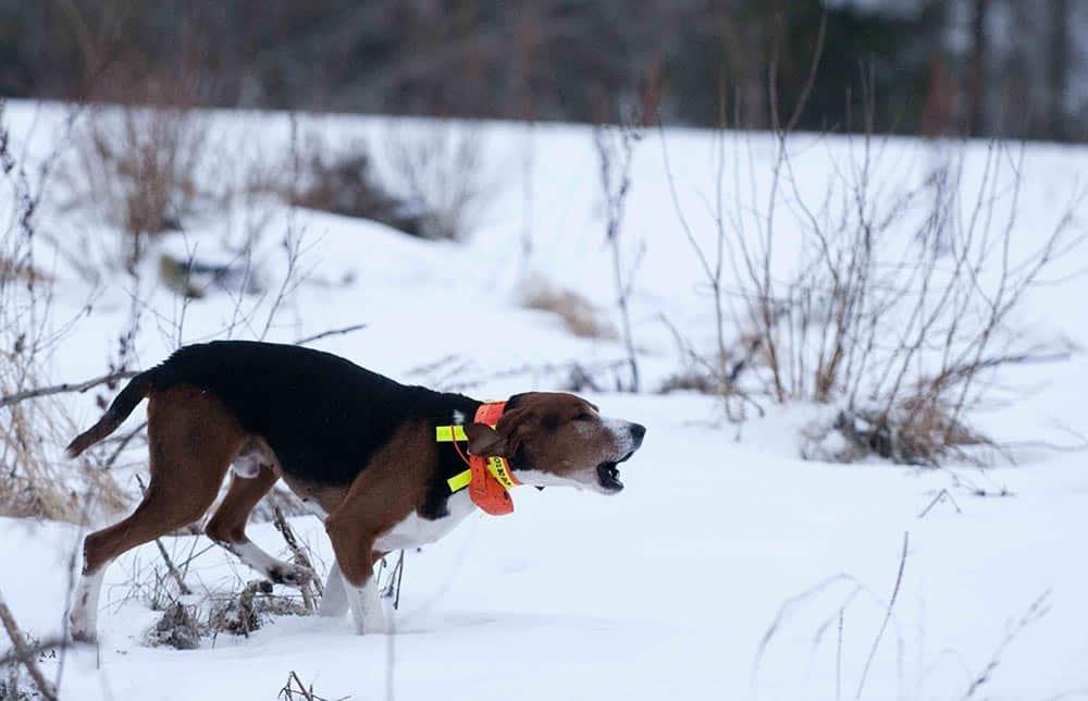 Det nya förbudet kan drabba jakthundar, som lätt kan råka ut för att sporrar slits av. Foto: Jan Henricson