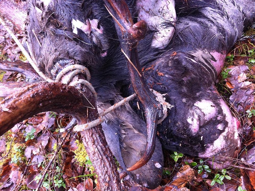 Ett grovt rep band ihop hornkronorna på älgtjuren och dovhjorten. Foto: Jonny Carlsson
