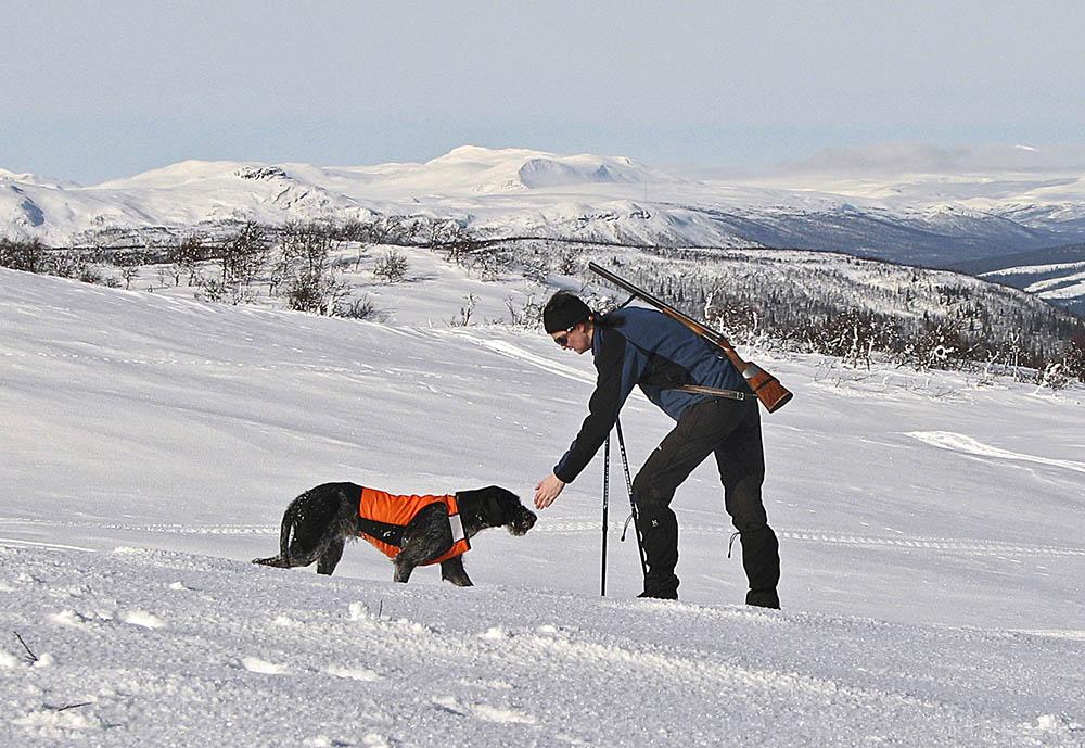 Under vinterjakt på ripa är det viktigt att skydda hunden mot köldskador. När hunden är igång och jagar används bara ett signaltäcke. Foto: Albin Holmberg