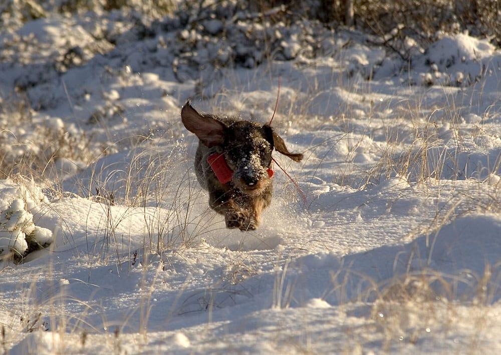 Taxar får inte starta på jaktprov om det är kallare än minus tio grader och djupare snö än 15 centimeter. Foto: Olle Olsson
