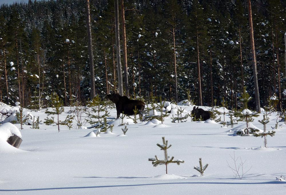 Älgarna måste trots allt jagas. Foto: Olle Olsson