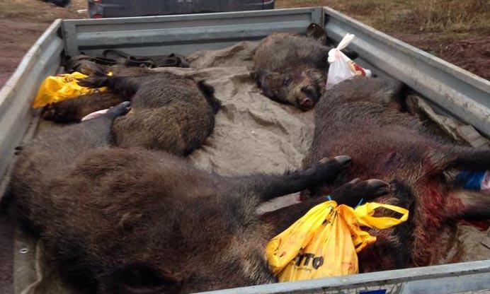 De fällda vildsvinen kördes till ett lokalt viltslakteri. Foto: David Gustafsson