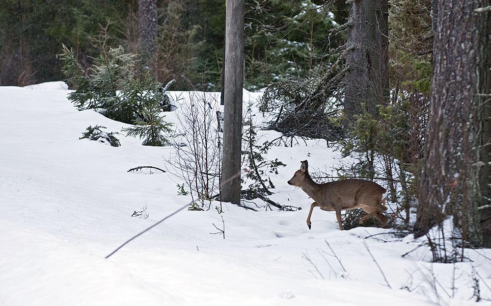 Rådjuren kommer ofta smygande när de har en långsamdrivande, tätskallig hund efter sig. Foto: Jan Henricson