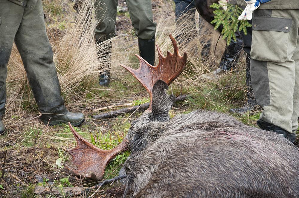 För älgens och för jaktetikens bästa måste jakttiden på älg kortas både i början och slutet, skriver Rolf Svensson i debattartikeln. Foto: Jan Henricson
