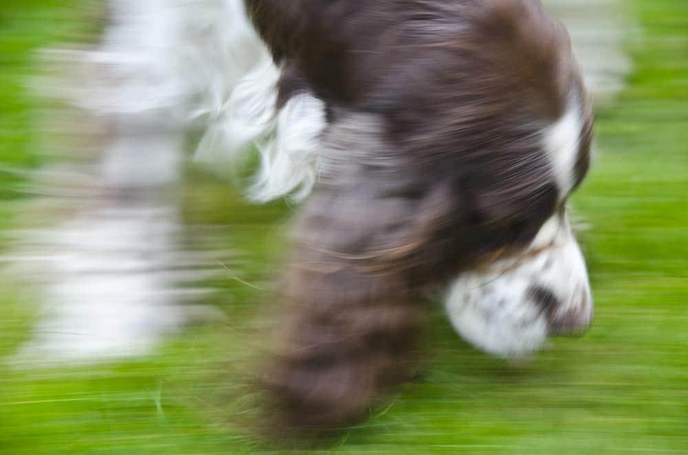 För hög stressnivå hos hunden är antagligen det som gör att flest hundar får problem med spårarbetet. Foto: Malou Kjellsson