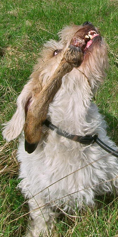Nöjd spårhund har hittat viltdelen. Foto: Malou Kjellsson