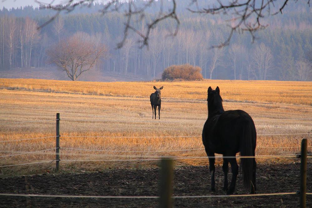 I ungefär fem minuter stod älgen och hästen och spanade in varandra. Foto: Anders Ljungberg