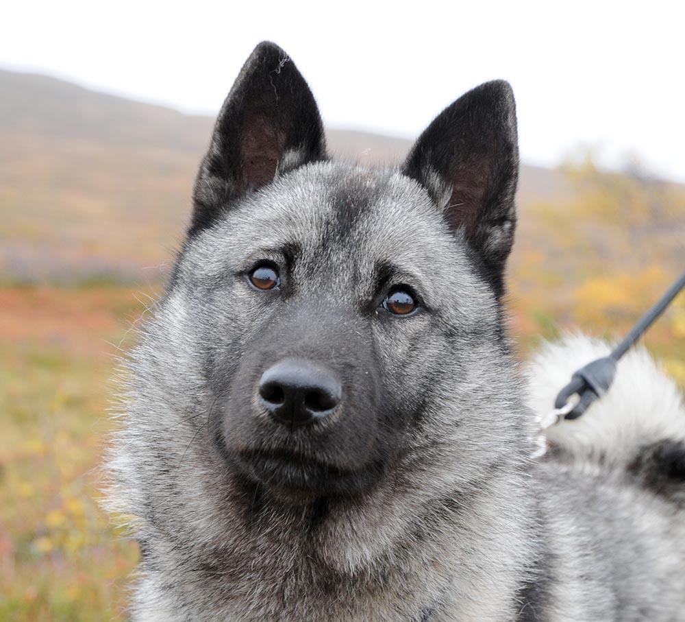 En dag om och med jakthundar blir det i Varbergs jaktvårdskrets i slutet av månaden. Foto: Jan Henricson