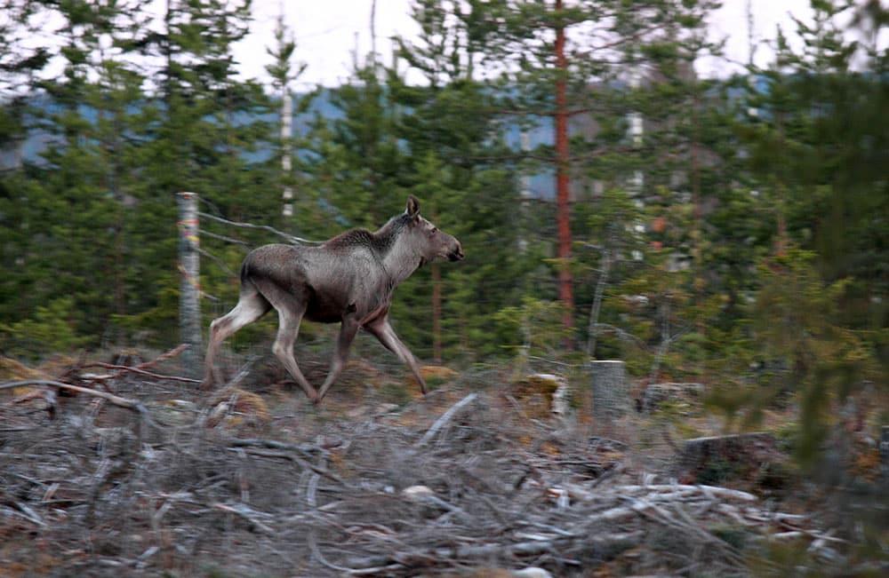 Om naturen ska släppas fri vad gäller de stora rovdjuren kommer vi snart inte att ha några större stammar av hjortdjur, anser insändarskribenten. Foto: Olle Olsson