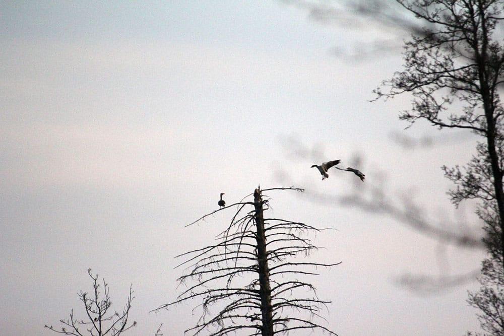 Grågåsen satt i toppen av en gran. Foto: Gunnar Kjellin