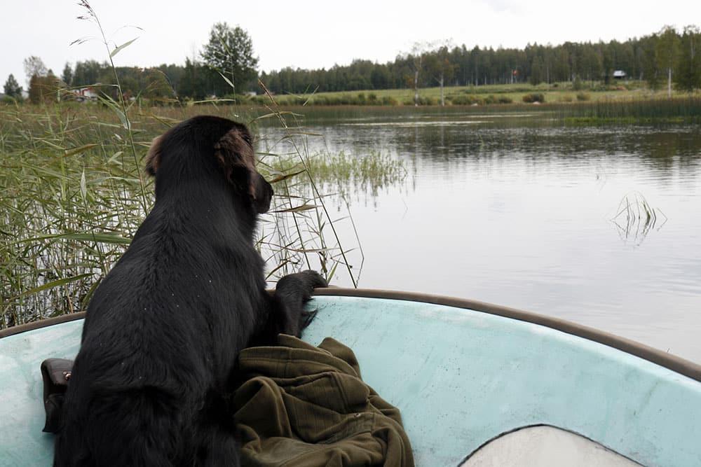 Lär hunden båtvett redan i valpstadiet. Foto: Olle Olsson