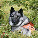 I gruppen med de friskaste hundarna ingår framför allt jakthundar, till exempel gråhund. Foto: Olle Olsson
