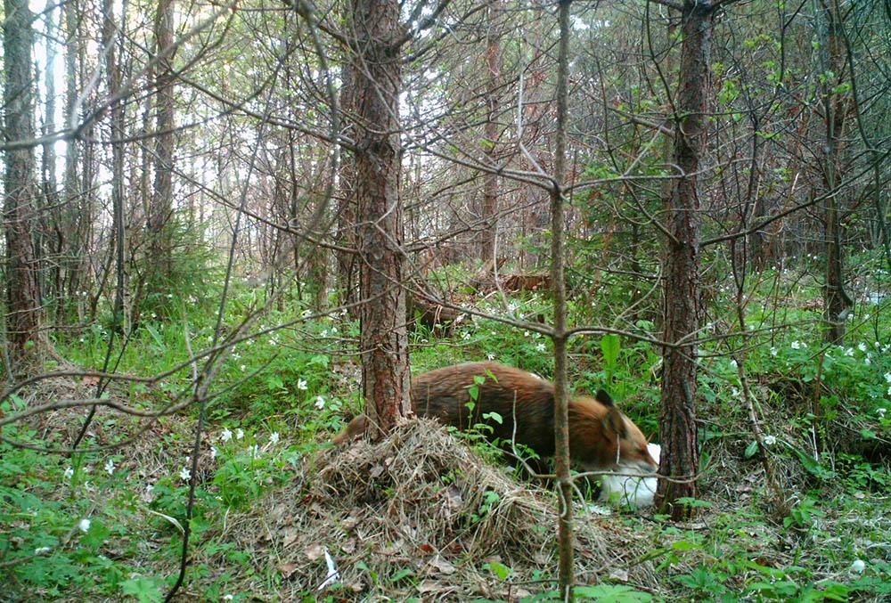 Någonstans på Gotland är en räv på väg till grytet med mat till hungriga ungar.