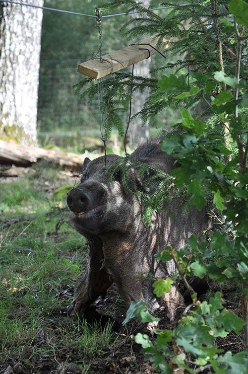Ett relativt ofarligt men spännande vildsvin. Foto: Birger Fransson