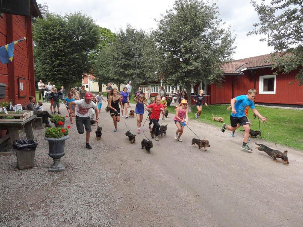 Taxrace och konditionsträning av förare och hund med gemensam start på den en kilometer långa banan. Segrade gjorde Jakob Söderström och Mariebergs Olle, som vann ett vandringspris skänkt av Södermanlands Taxklubb. Foto: Carl Söderberg