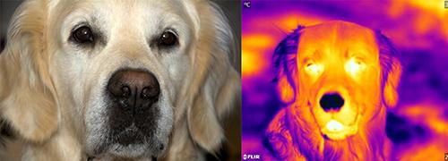 Hunden Kevin fotograferad med vanlig kamera respektive värmekamera. Ögonen är varmast, nosen kallast. Foto: Marie Gadolin/Ronald Kröger