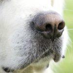 Gömmer hundens nos fler funktioner än andning och luktsinne? Foto: Marie Gadolin